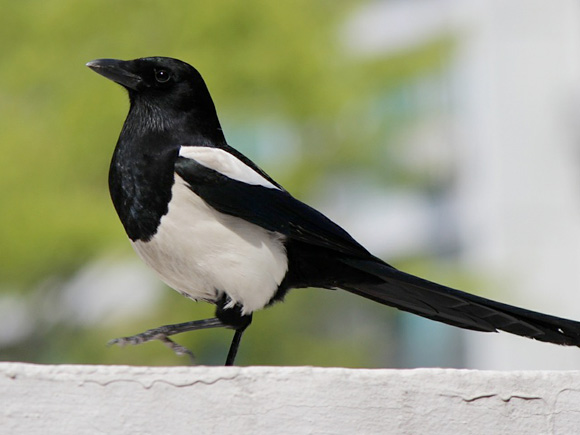 Presence of the Magpie